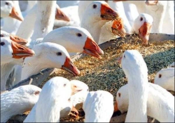 Болезни гусей: причины появления и их профилактика