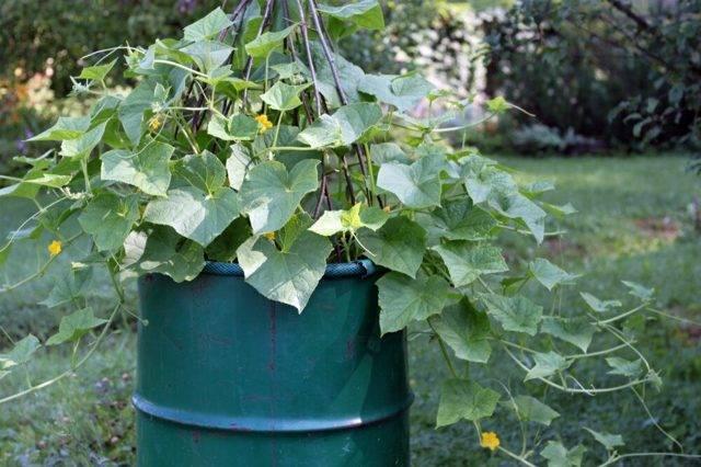 Выращивание огурцов в ведре - способы посадки и советы по уходу (115 фото)
