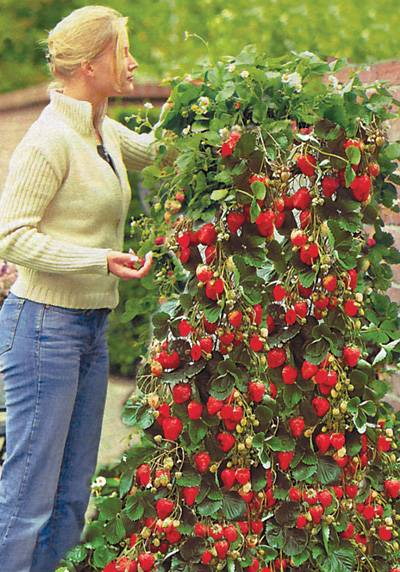 Вертикальное выращивание клубники: особенности посадки и ухода для такого способа, фото