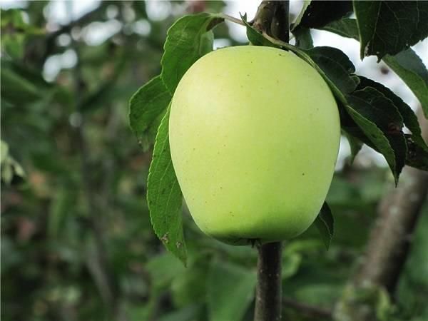 Описание сорта яблони аркад: фото яблок, важные характеристики, урожайность с дерева