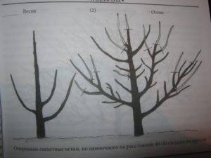 Обрезка грецкого ореха: советы и правила