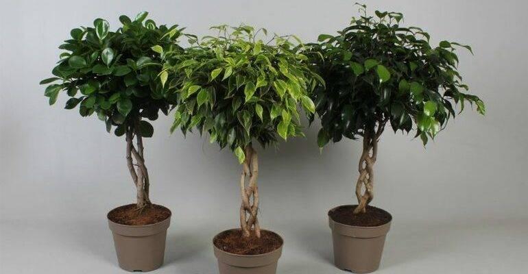 Фикус карликовый: выращивание и уход за растением в домашних условиях, вид ползучий и пумила, фото