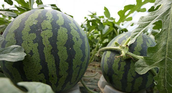 Особенности выращивания арбуза в теплице из поликарбоната