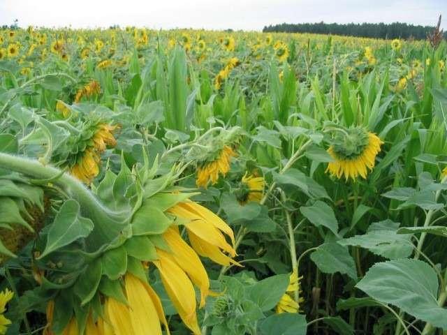 Декоративный подсолнух: посадка и уход в открытом грунте, выращивание из семян, сорта