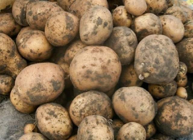 Сорт картофеля ласунок: описание, характеристика и фото белорусской картошки, особенности ее выращивания в разных регионах страны