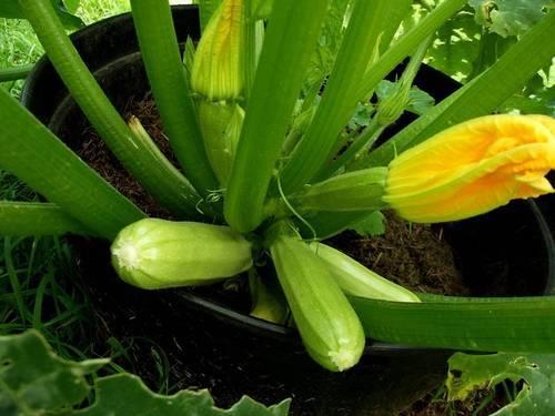 Гибрид «сангрум f1» — высокопродуктивный кабачок для открытого грунта