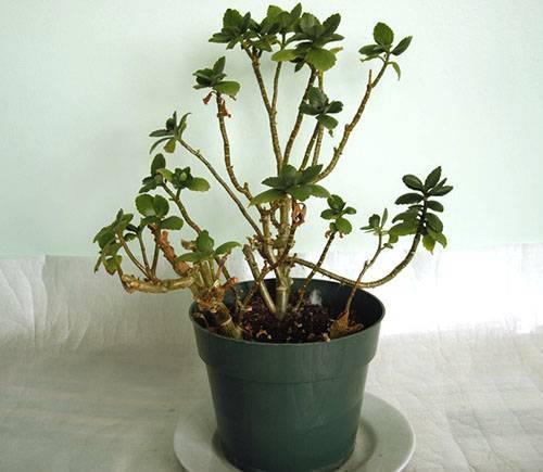 Почему не цветет каланхоэ: что делать и как заставить цвести? советы по уходу - sadovnikam.ru