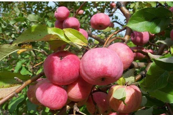 Сорт яблок спартан: описания и тонкости выращивания, фото и характеристики selo.guru — интернет портал о сельском хозяйстве