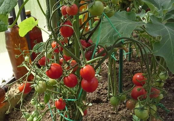 Сорт томатов никола: фото, описание, урожайность, отзывы