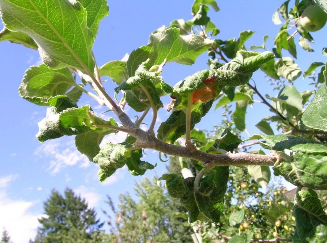 Причины усыхания веток и листьев яблони и способы лечения