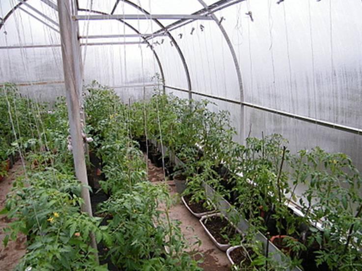 Как сажать помидоры в теплице чтобы был большой урожай: схема посадки