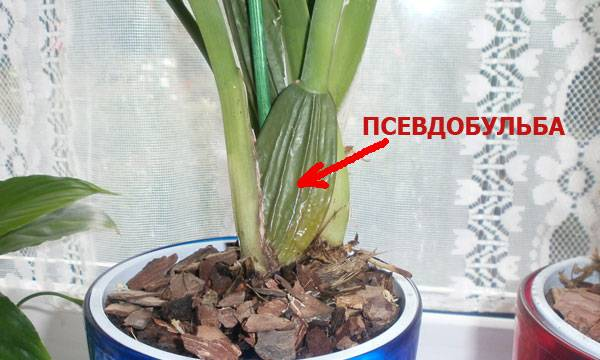 Орхидея камбрия: уход в домашних условиях и посадка