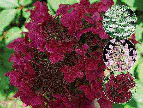 Гортензия метельчатая вимс ред: уход и посадка в домашних условиях, характеристики и описание растения