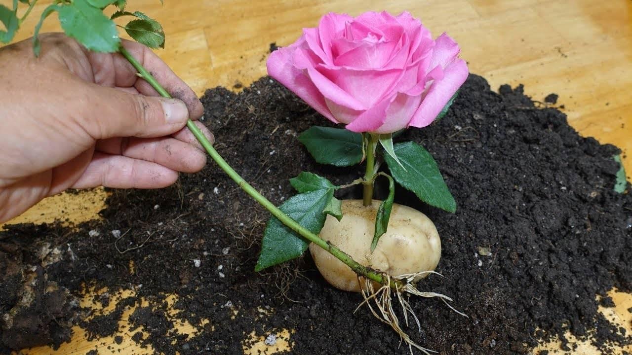 Розы: размножение черенками, укоренение черенков, разведение роз дома