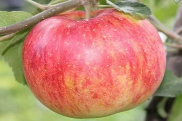 Яблоня штрейфлинг: описание сорта, фото, отзывы садоводов