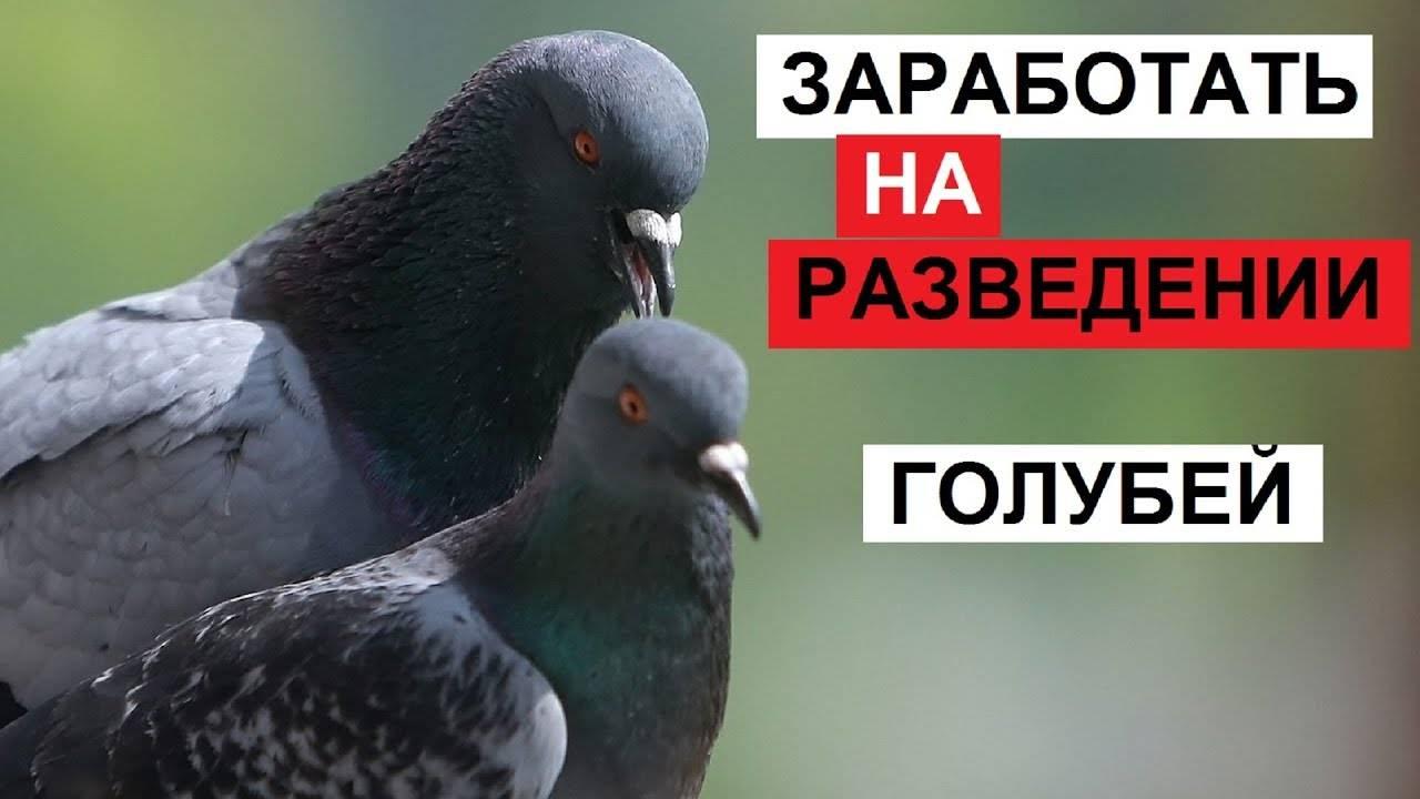 Разведение голубей: забытое хобби для детей и взрослых - хобби