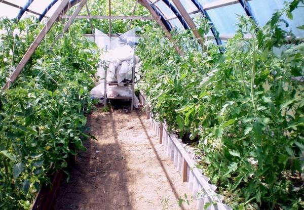 Помидоры жируют − что делать, в теплице, открытом грунте, видео, советы огородников