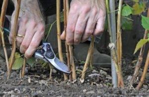 Обрезка малины для начинающих весной и осенью: особенности обрезки ремонтантной малины, фото, видео
