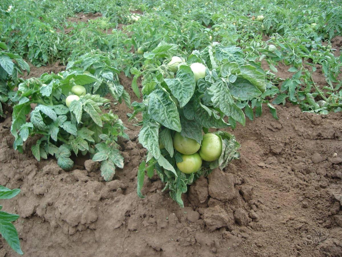 Все о выращивании томатов на подоконнике: от посева до сбора урожая