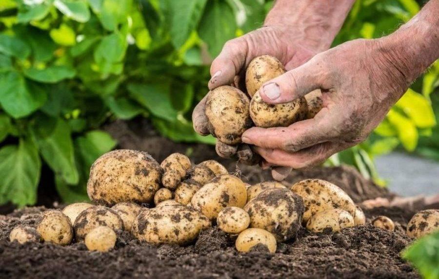 Удобрение для картофеля: какое лучше при посадке в лунку и после этого, а также самые полезные подкормки (минеральные, органические и ому) русский фермер