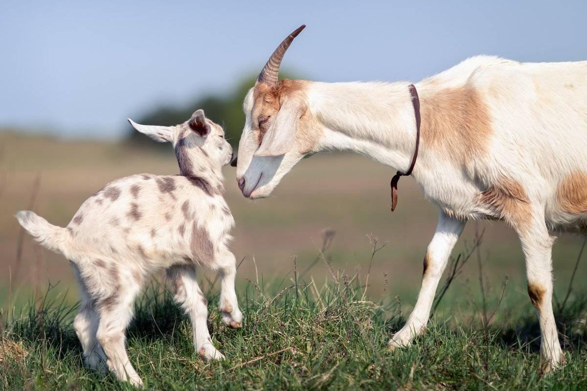 Вымя – основа молочной продуктивности козы