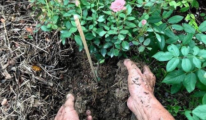 Чем подкормить розы весной до цветения, чтобы куст был хорошим