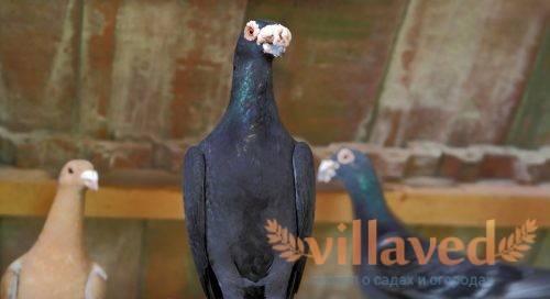 Высоколетные голуби: породы с фотографиями и названиями, видео