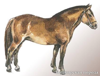 Башкирская лошадь: описание, экстерьер, применение породы