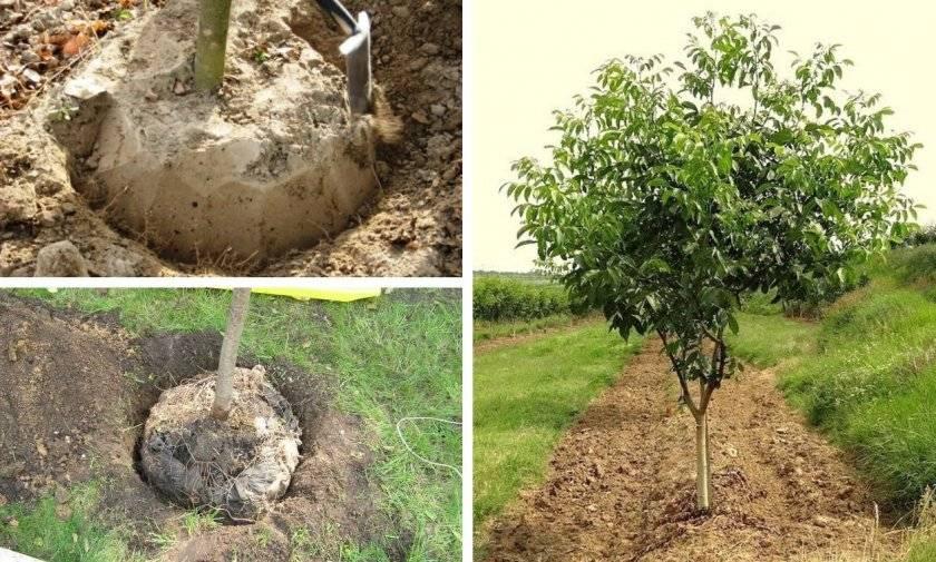 Как пересадить взрослое дерево- правила и секреты пересадки