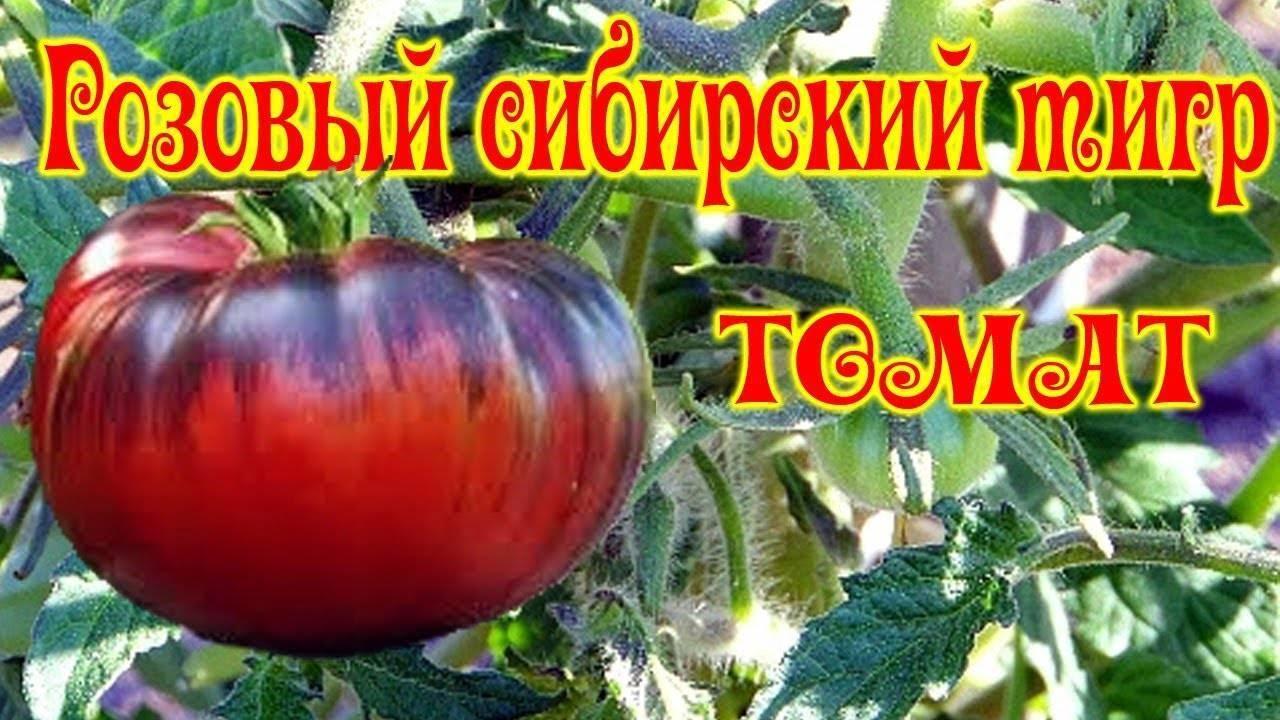 Томат сибирский тигр: характеристика и описание индетерминантного сорта с фото