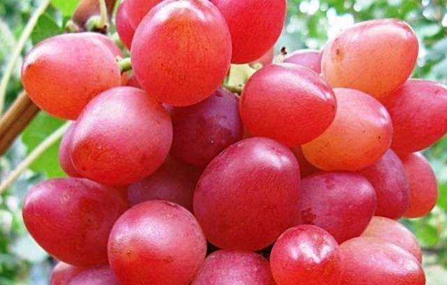 Виноград - рута: описание сорта, фото, отзывы