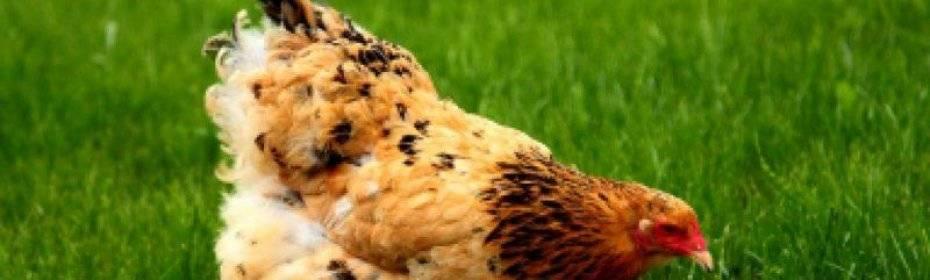 Как избавиться от пухопероедов у кур: лекарственные и народные средства лечения