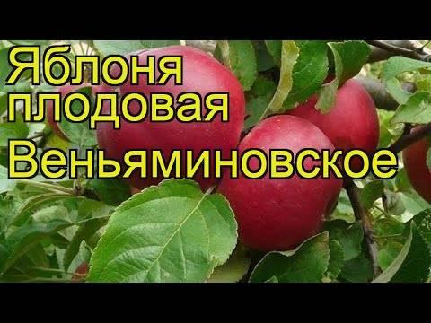 Рекордсмен по урожайности — сорт веньяминовский