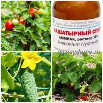 Нашатырный спирт для огурцов и помидоров: наши рекомендации по применению