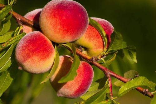 Персик «редхейвен» (20 фото): описание и морозостойкость сорта, отзывы