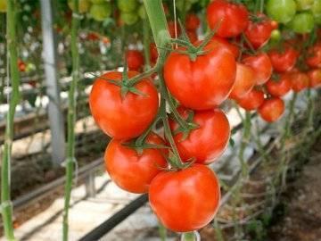 Детерминантные сорта помидор - описание разновидностей