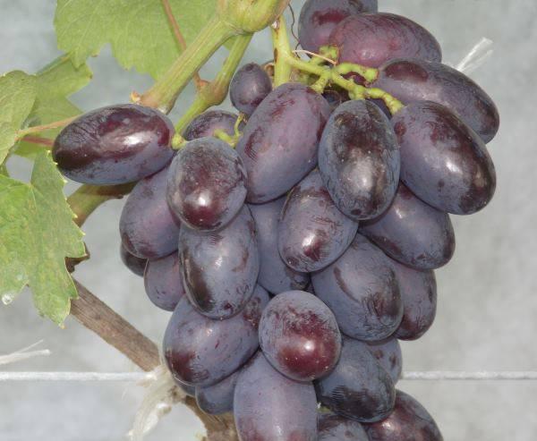 Виноград каталония: особенности и характеристики сорта