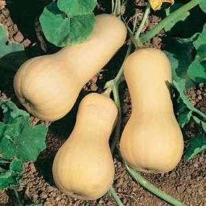 Тыква лесной орех: описание гибрида, фото плодов, отзывы о его выращивании и возможные проблемы, возникающие в процессе (например, ореховая тыква не желтеет)