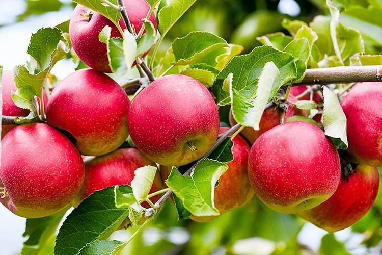 Яблоня слава победителям: описание сорта, отзывы, фото