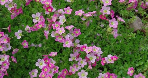 Выращивание вискарии: описание и виды растения, посадка семян в грунт и на рассаду, уход за цветами