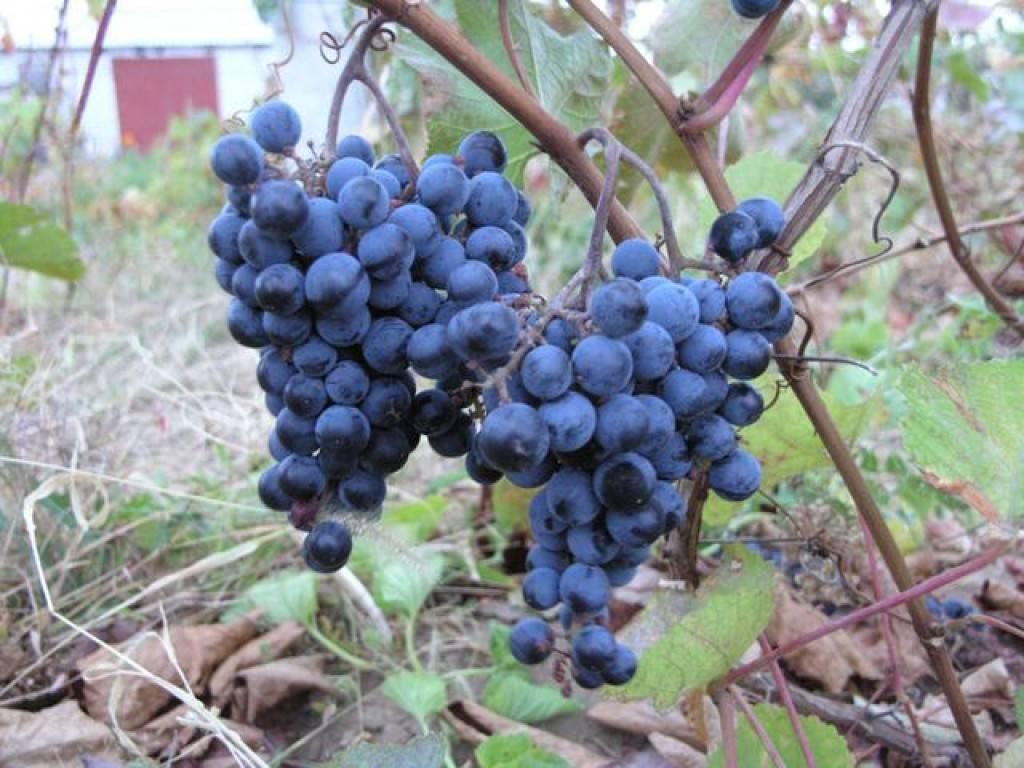 Виноград неретинский описание сорта: фото