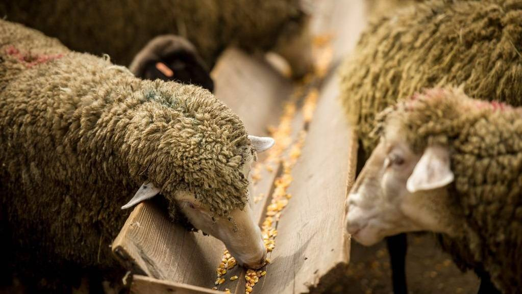Кормление овец – что ест, кормушки и чем кормить в домашних условиях 2021