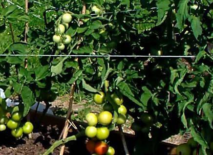 Томат яблонька россии: описание сорта, фото, отзывы, кто сажал, характеристика плодов, достоинства и недостатки