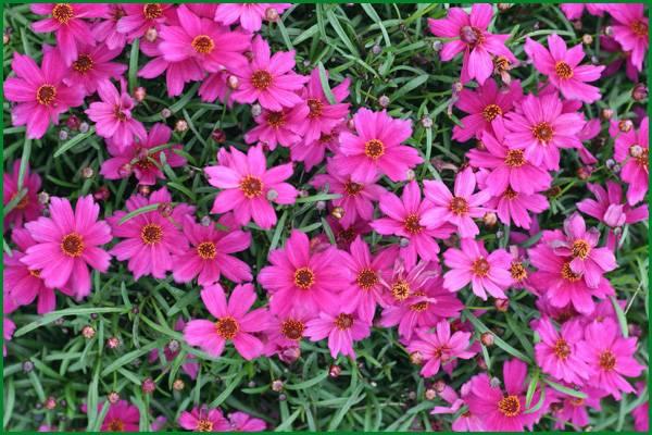 Кореопсис (coreopsis) — многолетник в саду