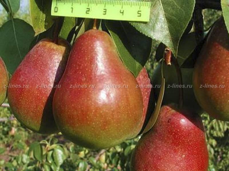 Груша бергамот - сладкий и сочный фрукт с высокой урожайностью