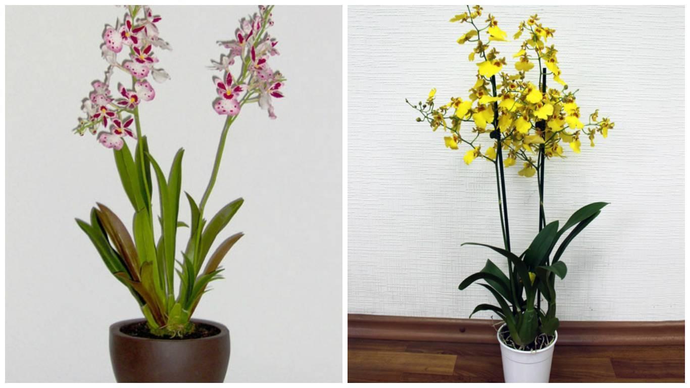 Узнайте больше об онцидиуме и особенностях ухода за растением