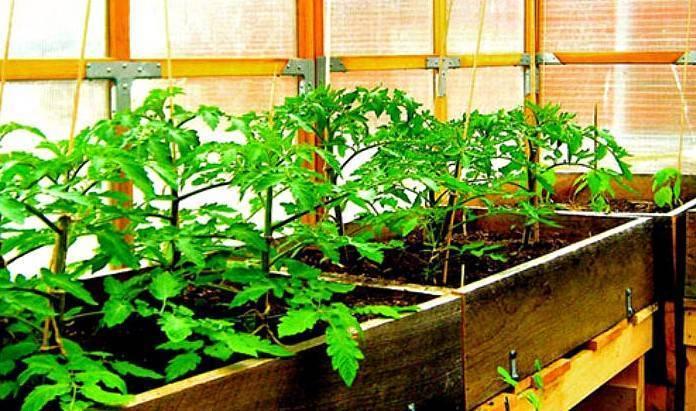 Чем подкормить рассаду перца и помидор: народные средства