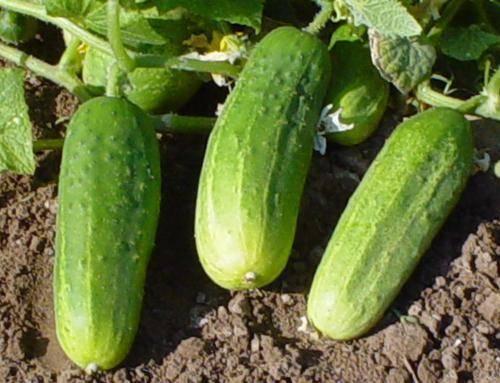 Огурцы паратунка f1: характеристика и описание сорта, урожайность с фото