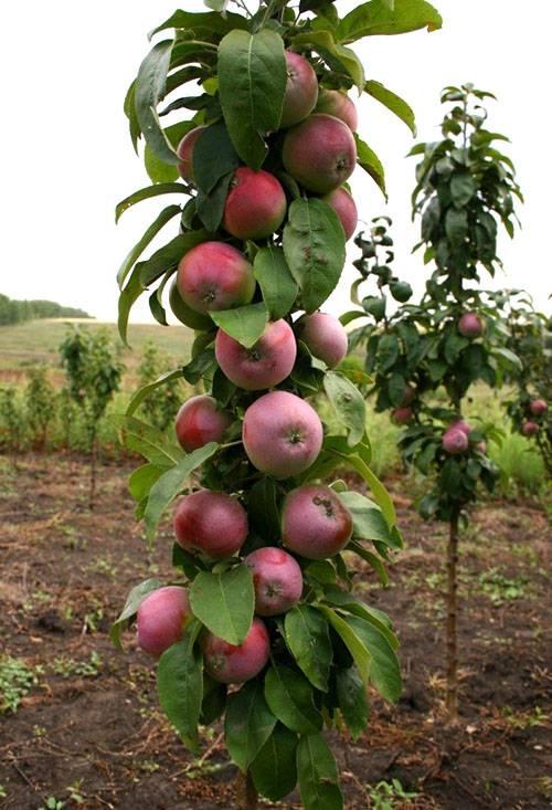 Штамб дерева: технология формирования кроны плодовых и декоративных растений своими руками
