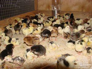 Клетки для цыплят своими руками: видео